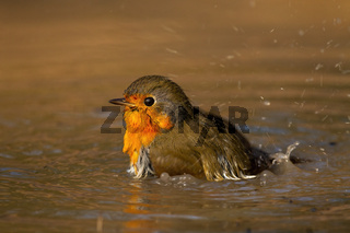 Adorable european robin splashing with wings and water droplets falling around