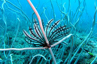 feather star on a Fragile Sea Whip, Delicate Sea Whip
