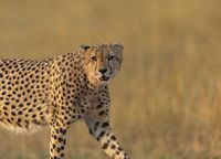 Cheetah closeup looking at camera, Acinonyx jubatus, Maasai Mara National Reserve, Kenya, Africa