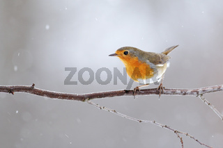 European robin with orange feathers on breast sitting on a twig in winter