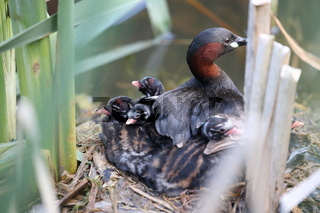 Little Grebe and chicks on nest Germany