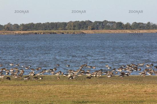 Gaens at the Guelper Lake