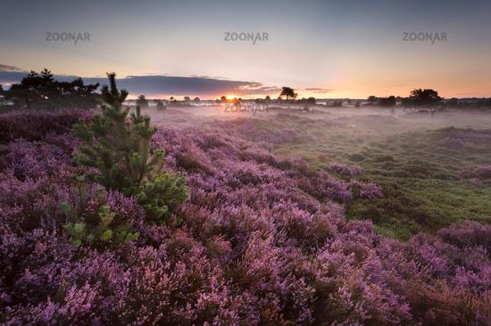sunrise over flowering pink heather