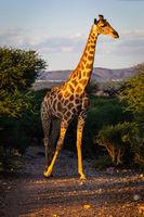 Angola Giraffe (Giraffa camelopardalis angolensis) in Namibia