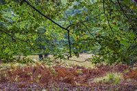 Rotbuchenwald und Adlerfarn im Fruehherbst / Common Beech forest and Bracken Fern in early autumn / Naturpark Westensee  -  Schleswig-Holstein