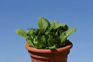 Borretsch; Borago; officinalis; jungpflanze
