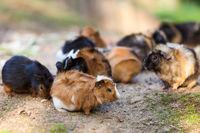 Guinea pigs.Cavia porcellus