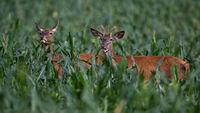 Red deer male and female standing in corn in summer.