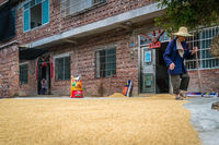Old villager walking next to grains drying on the ground