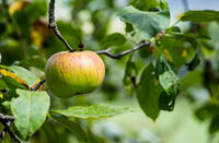 Branch with a single red and yellow striped apple and apple leaves
