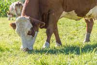 Dairy cows eat fresh grass in the pasture