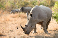 young African White Rhino in a South African Game Reserve