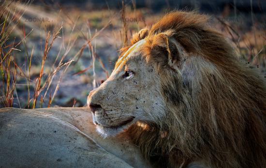 lion, male, South Luangwa NP, Zambia, (Panthera leo)
