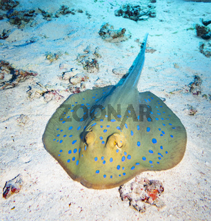 Blue Spotted Ray, Red Sea, Egypt