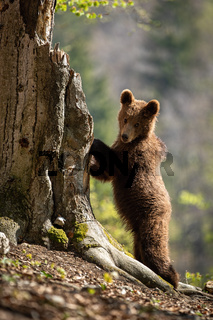 Cute brown bear climbing a tree and looking into camera in spring forest