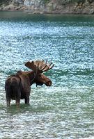 Wild moose in a lake