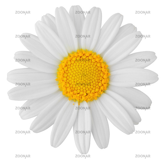 Lovely white Daisy (Marguerite) isolated on white background, including clipping path.