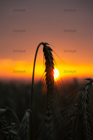Barley ear in front of an orange sunset