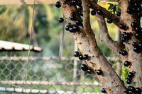 jaboticaba tree with fruits