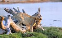 Young lion, Etosha NP, Namibia