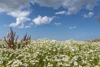 Sea Mayweed in the salt marshes by Fedderwardersiel