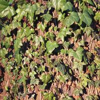 Ivy climbing at an old oak tree