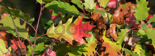 Oak tree with multicolor leaves in autumn forest