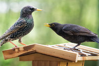 fight between Blackbird and Starling on a birdhouse