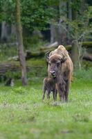 European bison, Bison bonasus