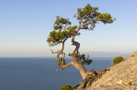 Relict pine on the background of a cloudless sky.