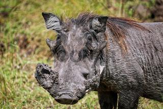 Warzenschwein im Lake Mburo Nationalpark in Uganda (Phacochoerus africanus) | Warthog at Lake Mburo National Park in Uganda (Phacochoerus africanus)