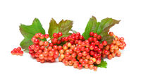 viburnum berries isolated on white background