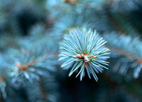 Blue spruce branch close-up.