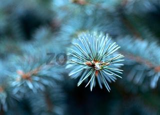 Blue spruce branch close-up.