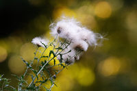 Thistle thorn seeds against a black and yellow blurred background