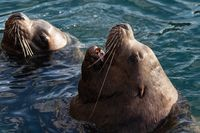 Wild Steller Sea Lion Eumetopias Jubatus with open mouth and teeth fangs swim in waves Pacific Ocean