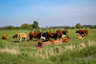 Rinder, Kühe grasen auf einer Weider oder Koppel