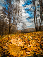 Fallen yellow maple leaf among birch leaves in a birch grove