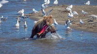 Young fishing brown bear with salmon
