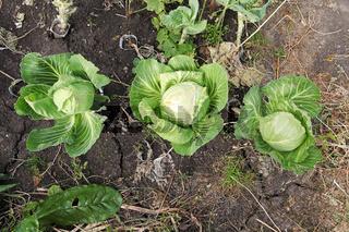 Three mature cabbage heads in the garden