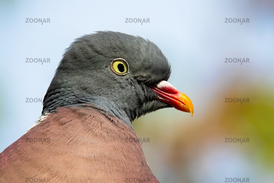 Close-up of alert common wood pigeon looking to the camera in summer