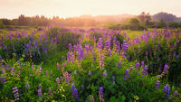 Lupine Blooms in a Field at Sunset