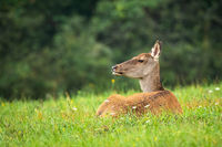 Calm red deer laying on grass in summertime nature.