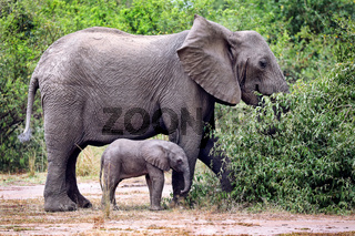 Elefanten im Queen Elizabeth Nationalpark, Uganda (Loxodonta africana) | Elehants at Queen Elizabeth National Park, Uganda (Loxodonta africana)