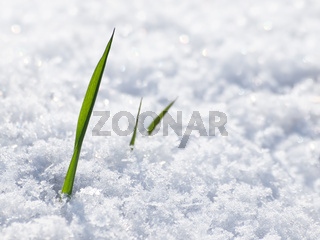 Grashalm im Schnee
