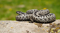Striped common viper sunbathing on a rock with green blurred background