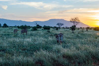 Zebras grazing in the savannah