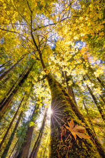 Maple Tree in a Redwood Forest