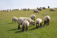 Some sheep at the dike