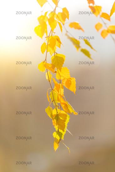 beautiful autumn yellow birch leaves background
